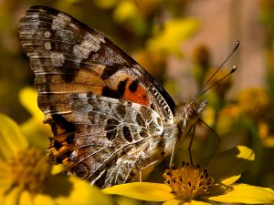 Georgeous Real life Countryside Butterfly